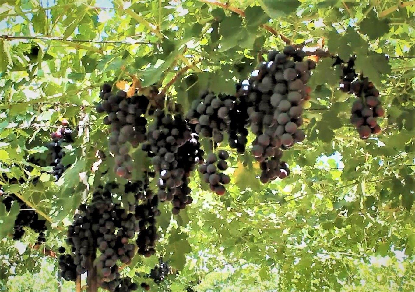 2021/07/efem-uzumunde-ilk-hasat-gerceklesti-dayanikliligi-ve-lezzeti-dikkat-cekti-20210729AW38-2.jpg