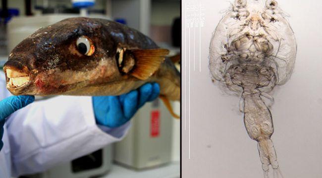 Bu parazitler yüzünden birçok balık türü tehlikede