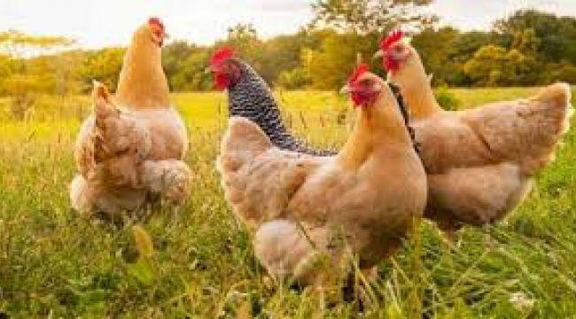 Tavuk eti üretiminde yüzde 22,9 artış
