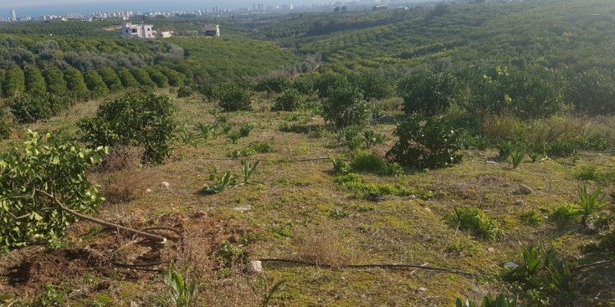 Orman arazisine dikilen limon ağaçları mahkeme kararıyla kesildi