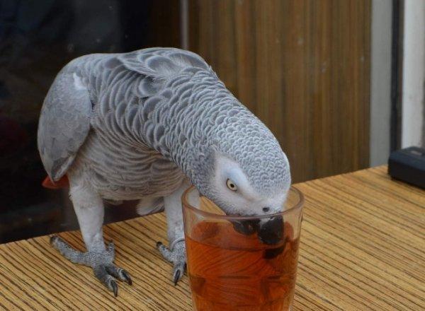 Çaycı papağan