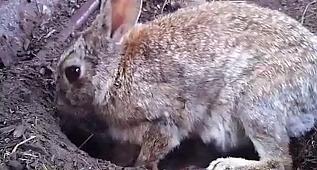Tavşanlar yavrularını neden toprağa gömer?